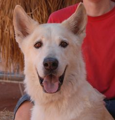 Buddy is a majestic gentleman debuting for adoption today at Nevada SPCA (www.nevadaspca.org).  He is a White Shepherd, about 8 years of age and neutered, and good with other large and friendly dogs.  We rescued Buddy from another shelter and his background is mostly unknown.  He had reportedly been confiscated in poor condition by an officer from a home or building.  Buddy still needs to regain weight, but he is thriving with all of the attention, meals, and treats here.