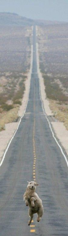 高速公路上,有一只羊驼在奔跑 ...羊驼 你好得瑟...