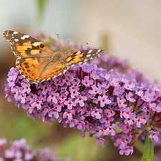 Butterfly Bush, we have several varieties of these in our gardens.  Be aware they are considered invasive in many states, and even where they are not, it is best to dead head before seeds form (you'll get more flowers that way anyway).  Butterflies and hummingbirds LOVE ours.