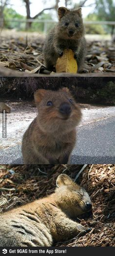 This is a Quokka, happiest thing on the planet