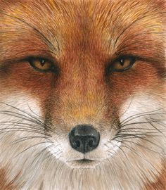 Red Fox Gaze - Pat Erickson