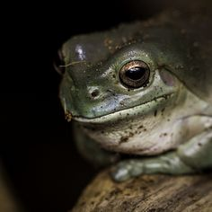 A Dirty Tree Frog | by Paul.E.M