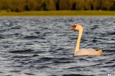 Kühmnokk-luik - Mute swan - Cygnus olor