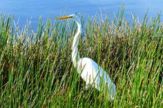 Great Egret, Tradition