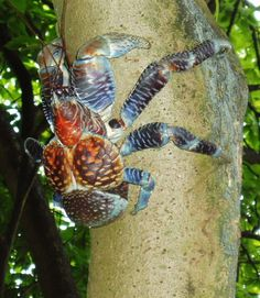 Coconut crab (Birgus latro) A. Underwater Creatures, Ocean Creatures, Coconut Crab, Sand Fleas, Zoolander, Alien Worlds, Battle Tank, Helmet Design, Guam