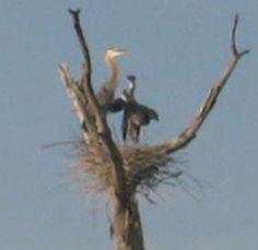 Zoom in of Heron nest June 8, 2012