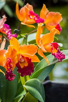 Cattleya by antonia Tropical Flowers, Colorful Flowers, Blooming Flowers, Unusual Flowers, Amazing Flowers, Beautiful Flowers, Orchid Varieties, Orquideas Cymbidium, Cattleya Orchid
