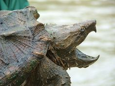 Alligator snapping turtle is surprising catch by angler - GrindTV.com  I think not!