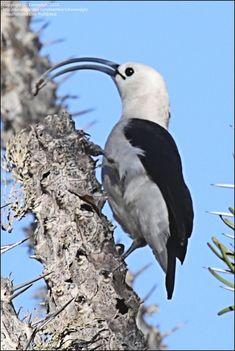 Sickle Billed Vanga Bird