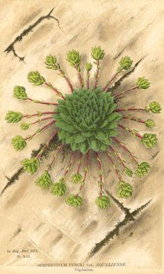 sempervivum funcki - just try to say it without smiling!