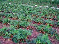 Căpșunul este una dintre cele mai iubite plante de cultură. Însă doar unii grădinari reușesc să obțină recolte bogate. Unele persoane dețin câmpuri întregi de căpșuni, dar culeg puține fructe. Oare cum poate fi crescută recolta de căpșuni? 1. ACOPERIȚI SPAȚIILE DINTRE RÂNDURILE DE CĂPȘUNI CU PELICULĂ NEAGRĂ. Acest truc permite rezolvarea concomitentă a două probleme: eliminarea buruienilor, care fură apa de la plantele de cultură și menținerea umidității solului. Înainte de a întinde pelicula... Vegetable Garden, Solar, Vegetables, Outdoor Decor, Gardening, Strawberry, Lily, Youtube, Apartment Vegetable Garden