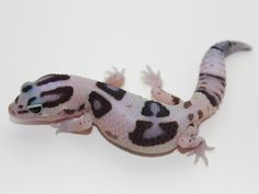 Striped White Out Het Patternless African Fat Tail Gecko