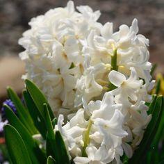 Aaaah die #hyazinthen 💕 wunderschön, stinken aber leider wie Seuche. 😂 Für mich sind das Gartenblumen, die ich im Haus nicht haben will,…