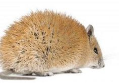 The African spiny mouse, a desert rodent that has become an exotic pet, can shed up to 60 percent of the skin on its back and fully regrow the lost tissue.