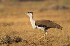 2754. Great Indian Bustard (Ardeotis nigriceps) | found in India and the adjoining regions of Pakistan