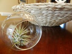 Hinterland Trading Air Plant Tillandsia with Hanging Glass Globe 4 12 Wide *** Find out more about the great product at the image link. (This is an affiliate link and I receive a commission for the sales)