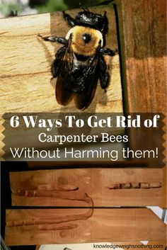 Find out how to get rid of carpenter bees and protect your properties timber. 6 Bee friendly methods & 1 last resort method for serious bee infestations. Kill Carpenter Bees, Carpenter Bee Trap, Wood Boring Bees, Wood Bees, Keep Bees Away, Bee Killer, Wasp Killer, Getting Rid Of Bees, How To Kill Bees