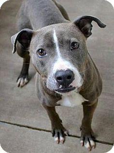 McKinney, TX - American Staffordshire Terrier Mix. Meet John Muir, a dog for adoption. http://www.adoptapet.com/pet/12766067-mckinney-texas-american-staffordshire-terrier-mix