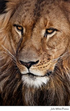 Funny Wildlife, Lion by John White Lion Pictures, Animal Pictures, Beautiful Cats, Animals Beautiful, Animals And Pets, Cute Animals, Lion Photography, Gato Grande, Male Lion
