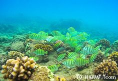 Great snorkeling at Hulopoe Bay, Island of Lanai, Hawaii.