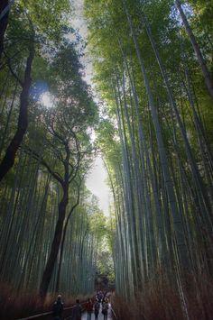 tall tall bamboo trees