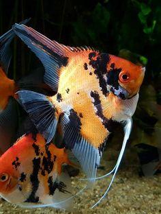 A very nice Koi angel Saltwater Aquarium Fish, Tropical Fish Aquarium, Tropical Freshwater Fish, Freshwater Aquarium, Koi, Oscar Fish, Fish Breeding, Discus Fish, Underwater Creatures