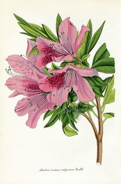 Botanical Prints by Lemaire 1851-54