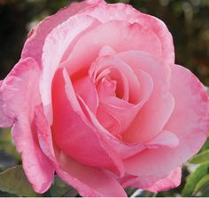 """First Prize"" Hybrid Tea Rose. Deep rose-pink buds spiral gracefully opening to immense blooms with ivory centers. Thick satin-like petals. Dark green leathery foliage on a vigorous plant. Died in too much Shade on back fence."