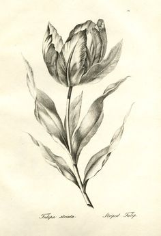Plate 21: Striped tulip; one single flower in full blossom, slightly tilting the right. 1819 Lithograph