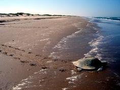 kemps-ridley-sea-turtle4
