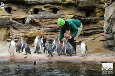 """When zookeeper Celine Pardo tossed a bucket full o' footballs to the Humboldt penguins, we learned how penguins rush—let's call it Beak Mode. Photo: Ryan Hawk/Woodland Park Zoo."" In Seattle, WA via Woodland Park Zoo on Facebook"