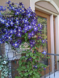 Most years this climatis by the back door is just georgous. Clematis Trellis, Deck Decorating, Back Doors, Yard, Leaves, Outdoor Structures, Flower Gardening, Landscape, Spring