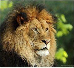 Tattoo Lion Family Jungles 40 Ideas For 2019 Lion Images, Lion Pictures, Beautiful Creatures, Animals Beautiful, Cute Animals, Lion Photography, Lion Family, Lions Photos, Lion Love