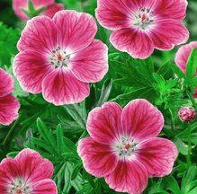 I really, really want this: Geranium Sanguineum Elke