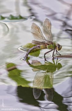 pollinator - dragon fly | Better Photo