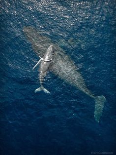 Drone shot of humpback whale mother and calf