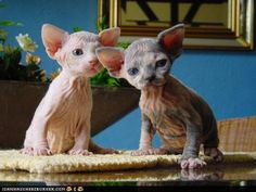 Sphynx kittens -- if Yoda and a cat had offspring. Or more like Golum kittens. Cute Fluffy Kittens, Kittens Cutest, Cats And Kittens, Cute Cats, Funny Cats, Gato Sphinx, Beautiful Cats, Animals Beautiful, Crazy Cats