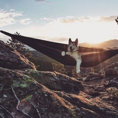 Siberian husky camping in a hammock I Love Dogs, Cute Dogs, Animals And Pets, Cute Animals, A Husky, Tier Fotos, Airedale Terrier, Happy Dogs, Mans Best Friend