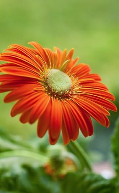 Orange Gerbera...definitelt NOT a favorite color, but this is beautiful