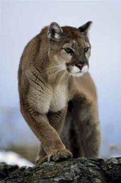 O Puma