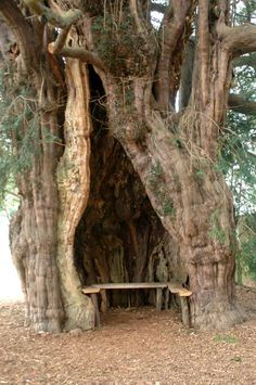 Much Marcle Yew, Herefordshire. Via Photography of England FB