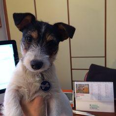 Benvenuta piccola #Audrey #jrt #puppy #dog