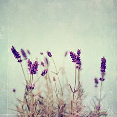 Shabby Chic Fine Art Photograph, Mixed Media, Purple Lavender Flowers, Texture Overlay, Teal Hue, Home Decor, Floral Art, Square 8x8 Print. $30.00, via Etsy.