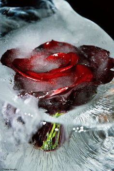Kelsie Marie Photography: Frozen In Time Heirloom Roses, Frozen In Time, Perennials, Cabbage, Vegetables, Garden, Flowers, Photography, Food