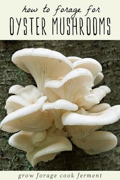 Let's go foraging for oyster mushrooms! Oyster mushrooms are easy to identify and fun to forage for, plus they are delicious and easy to use in the kitchen! Learn how to identify edible oyster mushrooms, where to forage for them, and my favorite ways to cook with this very special wild mushroom! #mushrooms #foraging