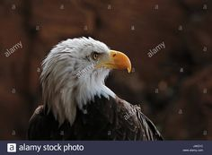 Download this stock image: Bald eagle (Latin Haliaeetus leucocephalus) - J4K21C from Alamy's library of millions of high resolution stock photos, illustrations and vectors.