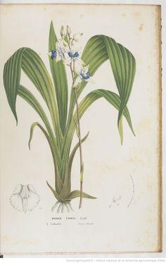 Flore des serres et des jardins de l'Europe, rédigée par M. Ch. Lemaire,... M. Scheidweiler,... M. L. Van Houtte,... | 1845 | Gallica