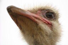 Title  Ostrich Closeup  Artist  Terry Fleckney  Medium  Photograph - Photography