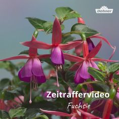 Zeitraffer Fuchsie You always wanted to see how that one opens? Beautiful Flowers Pictures, Beautiful Photos Of Nature, Beautiful Flowers Wallpapers, Flower Pictures, Amazing Flowers, Pretty Flowers, Strange Flowers, Exotic Flowers, Tropical Flowers