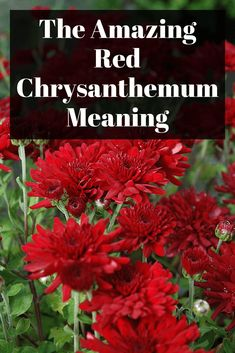 The Amazing Red Chrysanthemum Meaning Chrysanthemum Meaning, Fall Mums, Amazing Red, Chrysanthemums, If You Love Someone, Greek Words, Red Flowers, Are You The One